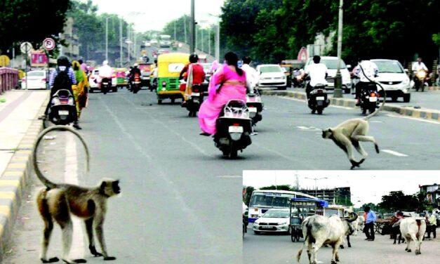 શહેરોમાં કોરોનાની સાથે-સાથે રખડતી ગાયો અને વાંદરાઓનો પણ અસહ્ય ત્રાસ