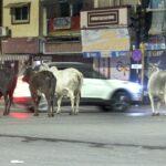 દિવસે તો ખરો જ; રાત્રે પણ રખડતી ગાયોનો માર્ગો પર ત્રાસ